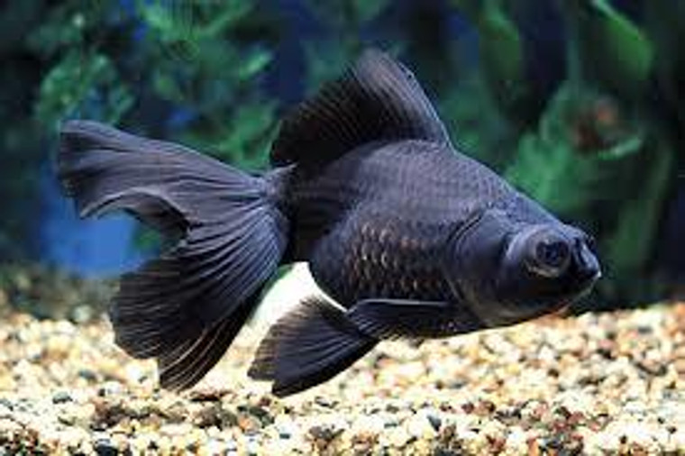 Black Moor Goldfish - medium size
