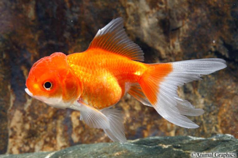 Red Oranda Goldfish - Regular 2 - 2.5 inches