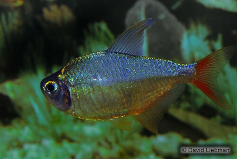 RED-BLUE COLOMBIAN TETRA regular