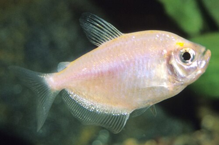 WHITE SKIRT TETRA regular