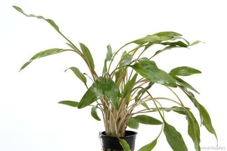 Cryptocoryne Lutea Potted