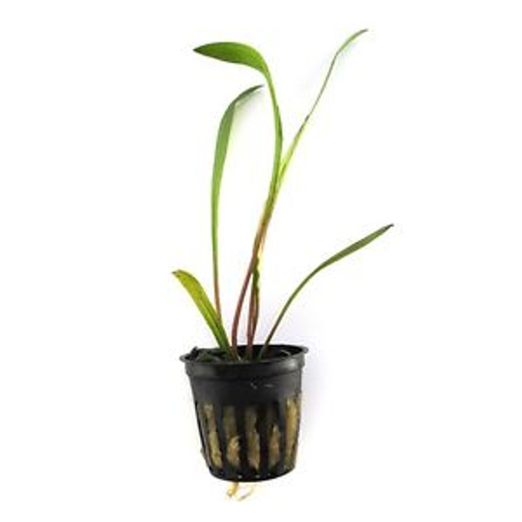 Cryptocoryne Spiralis Potted