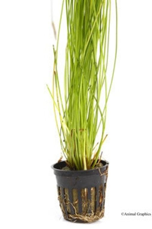 Giant Hairgrass Potted