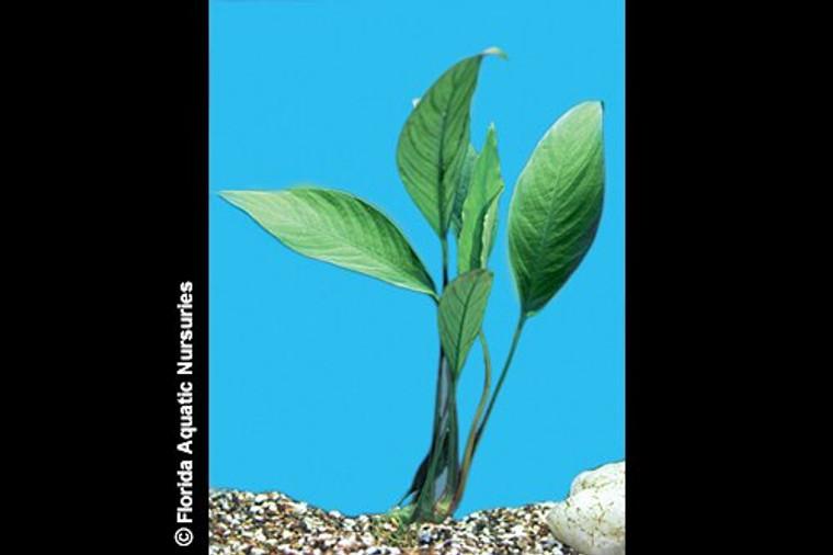 Anubias Congensis Plant - MEDIUM