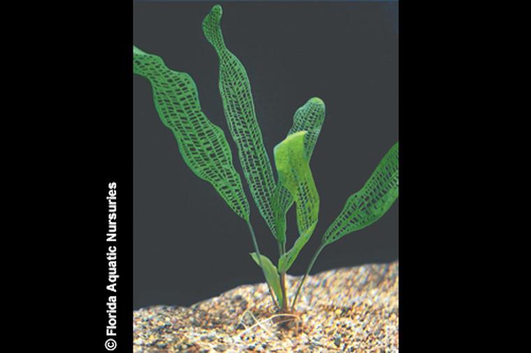 Aponogeton Madagascar Lace Plant - MEDIUM