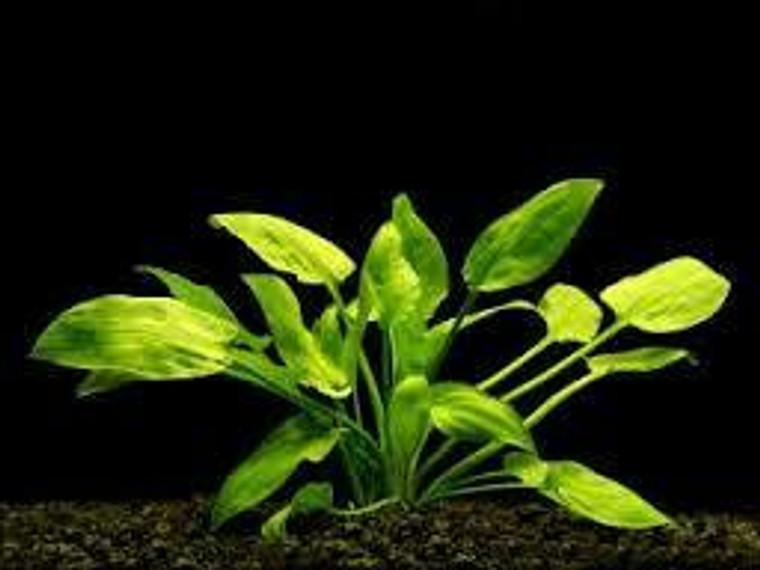 Cryptocoryne Pontederifolia Plant - MEDIUM