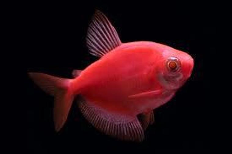 GloFish Starfire Red Tetras - 1 - 1.5  inches