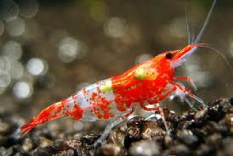 Red Rili Shrimp - Regular  1 - 1.5  inches