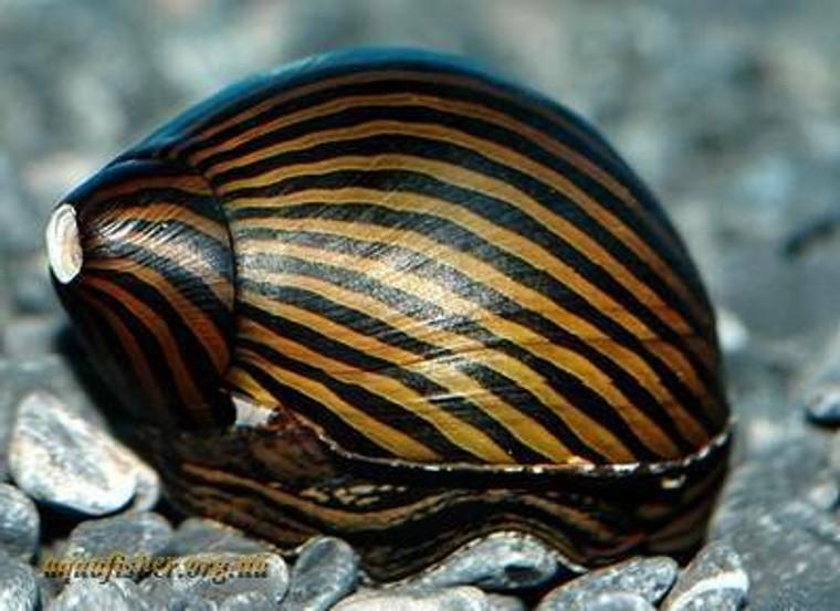 Black Racer Nerite Snail - regular