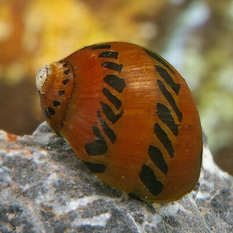 Tiger Nerite Snail - regular