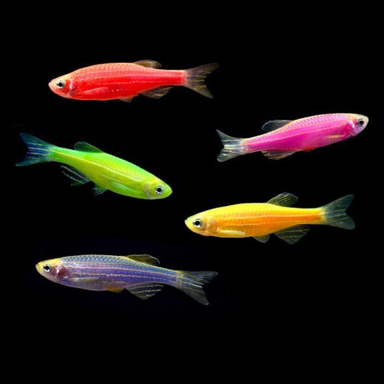 Assorted GloFish® Danio  REGULAR