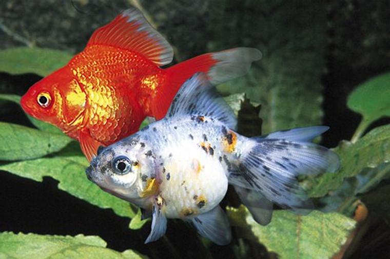 Assorted Ryukin Goldfish  Large 5 -6 inches