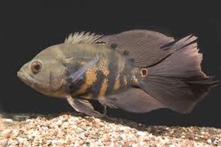 Assorted Longfin Oscar  REGULAR