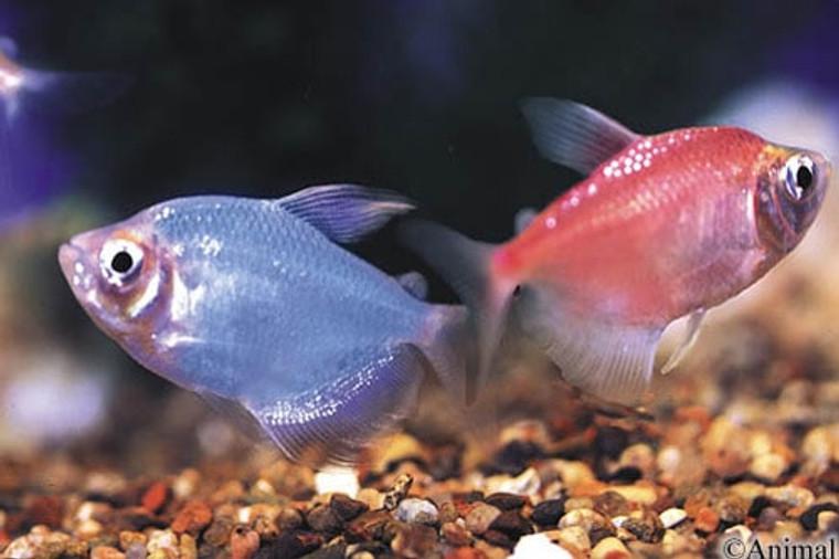 Assorted Glofish® Tetra  REGULAR