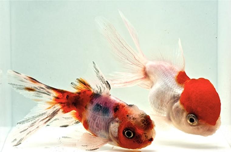 Assorted Oranda Goldfish  MEDIUM