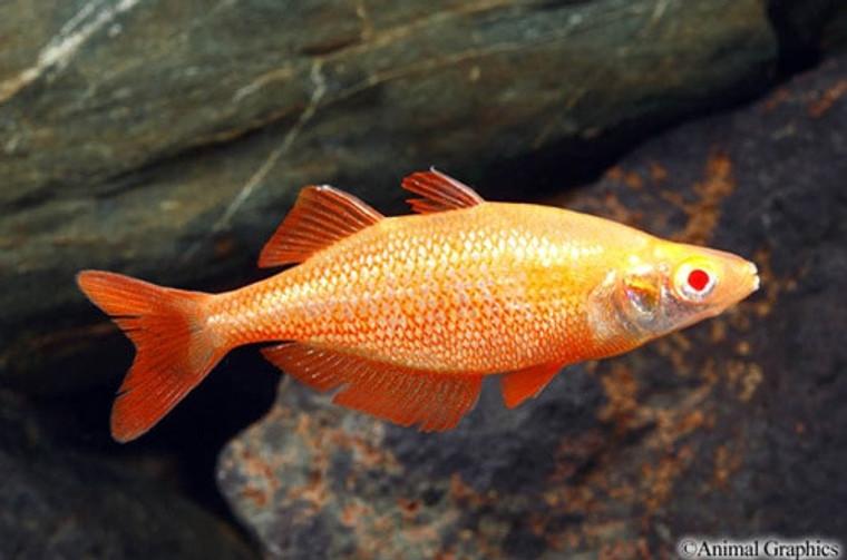 Albino Orange Millennium Rainbow  MEDIUM