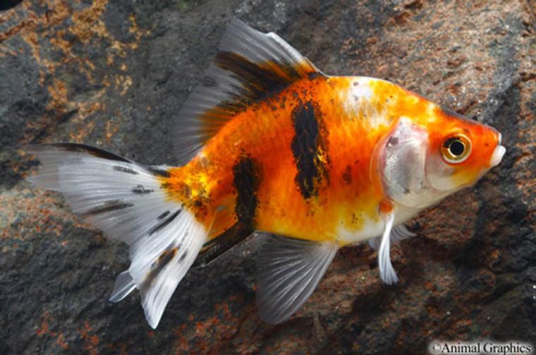 Calico Ryukin Goldfish  LARGE