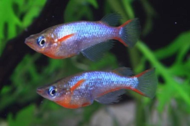 Daisy Ricefish Killie - REGULAR