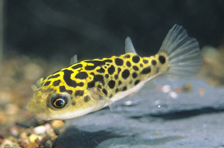 Leopard Puffer  REGULAR