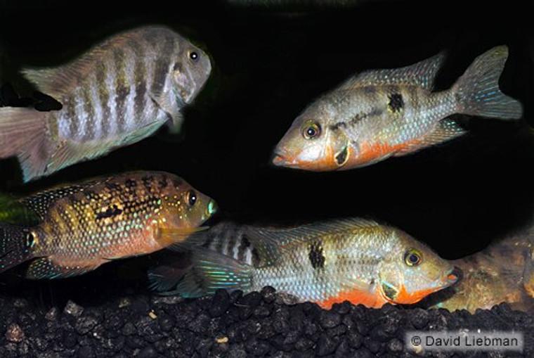 Assorted South American Cichlid  REGULAR