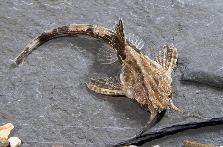 Banjo Catfish REGULAR