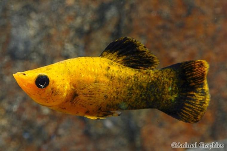 GOLD PANDA MOLLY regular