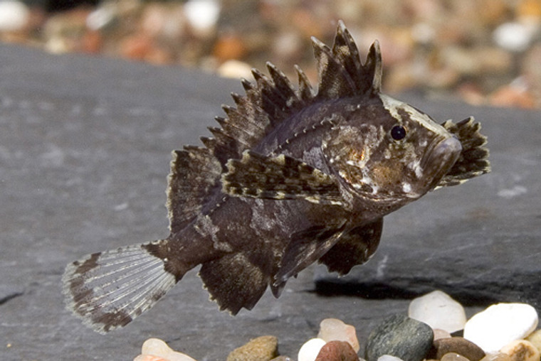 INDIAN BUTTERFLY GOBY regular