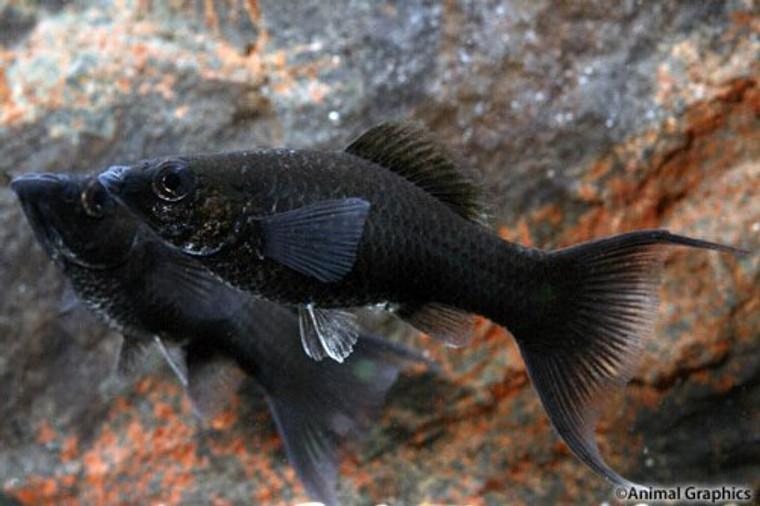 Black Lyretail Molly  REGULAR