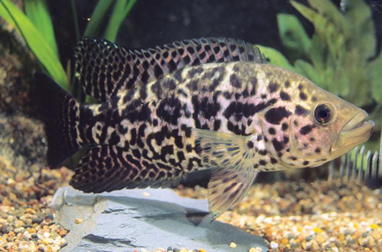Jaguar Managuense Cichlid  LARGE