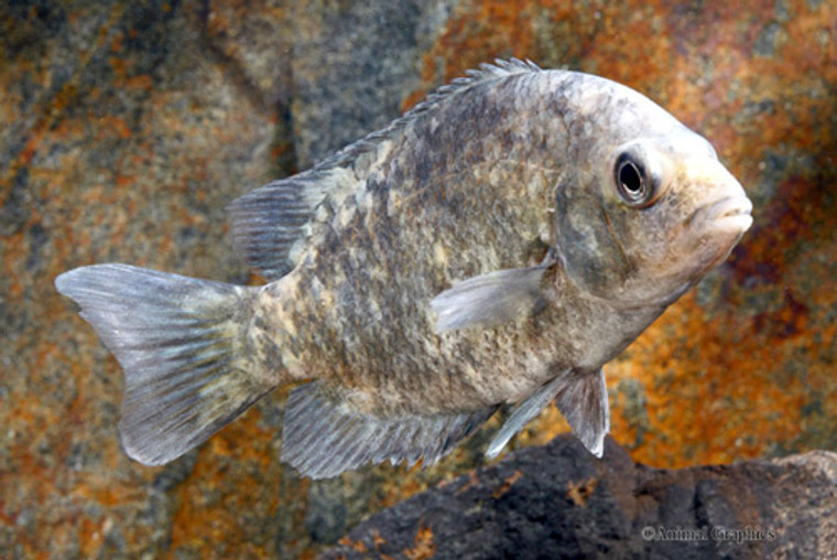 Calico Paretroplus Kieneri Cichlid  REGULAR