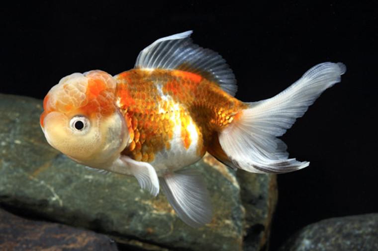Tri-Color Oranda Goldfish  MEDIUM