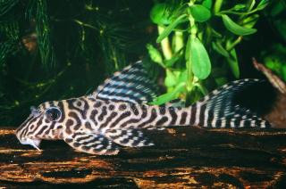 King Tiger Pleco L66 REGULAR