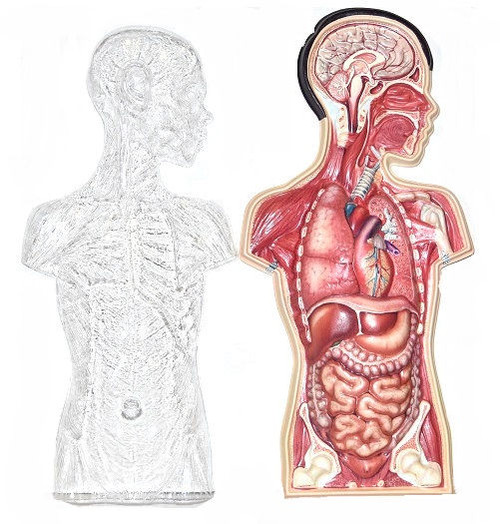 American Educational Products 2006 Human Torso 3D Model