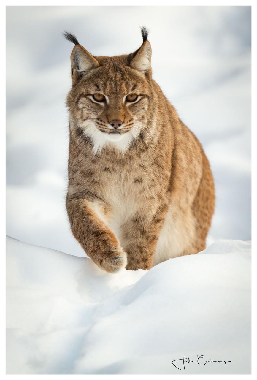 Een lynx die rustig naar je toe wandelt door de sneeuw.