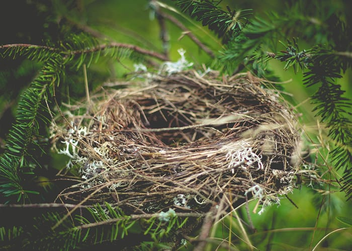 Bird's Nest in Pine Tree