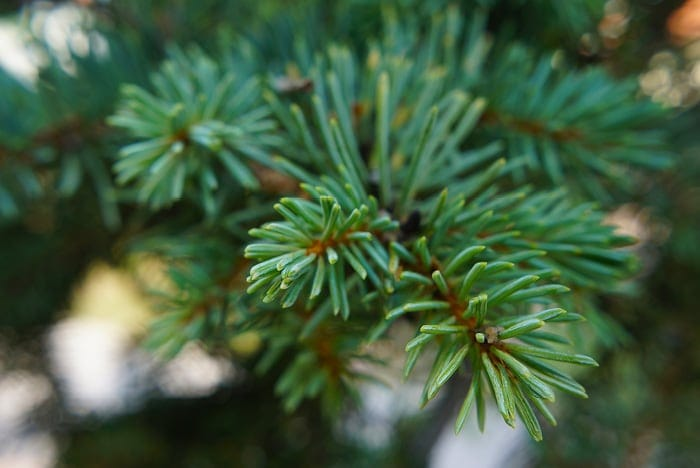 Close Up of Christmas Tree Branch