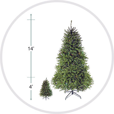 Northern Pine Tree Height