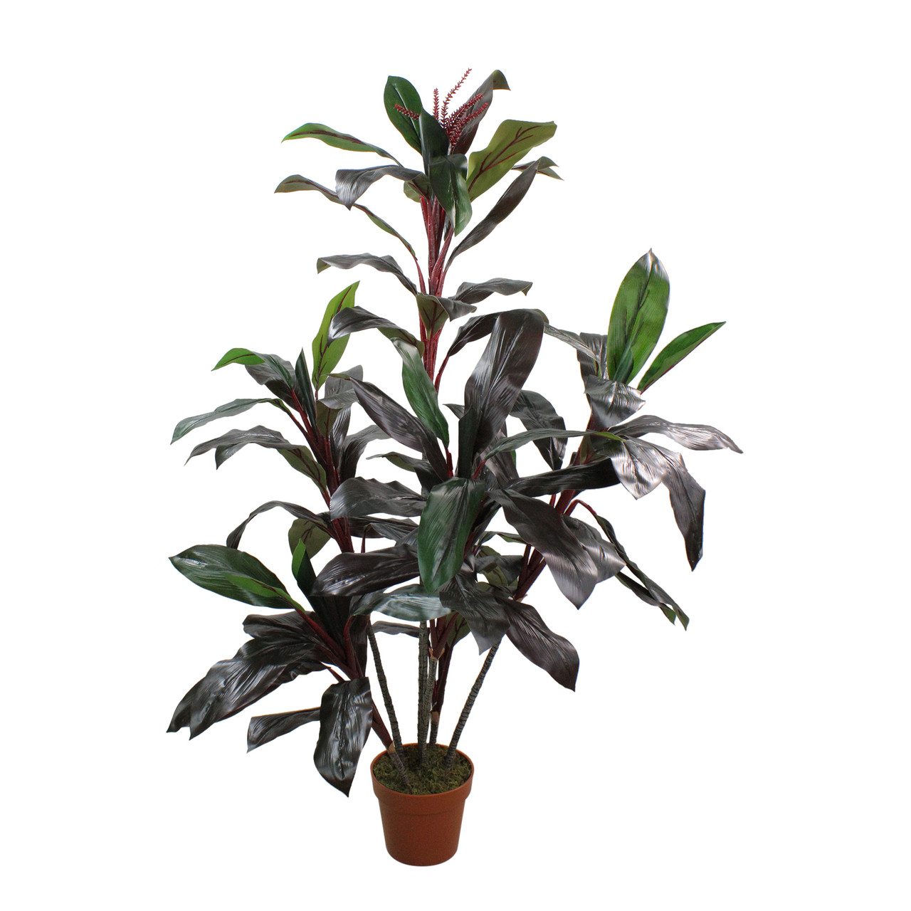 red bonsai plant, red fittonia plant, red draceane, red dieffenbachia plant, red zinnia plant, cordyline plant, red pothos plant, red calibrachoa plant, red spathiphyllum plant, red ferns plant, red peperomia plant, red caladium plant, red echeveria plant, red dracaena marginata, red edged dracaena, red aphelandra plant, red clivia plant, red sedum plant, red begonia plant, red sansevieria plant, on red dracaena house plant