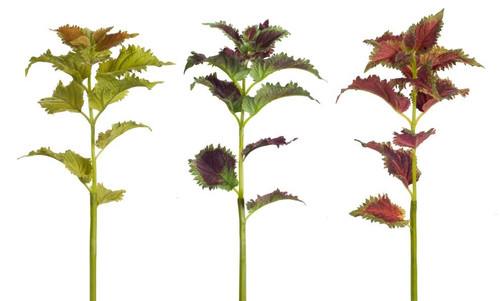 """Club Pack of 12 Green and Purple Artificial Coleus Stem Plants 23"""" - IMAGE 1"""