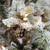 7.5' Pre-Lit Flocked Slim Colorado Spruce Artificial Christmas Tree - Clear Dura-Lit Lights - IMAGE 2