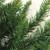 2' Buffalo Fir Full Artificial Christmas Wall or Door Tree - Unlit - IMAGE 2