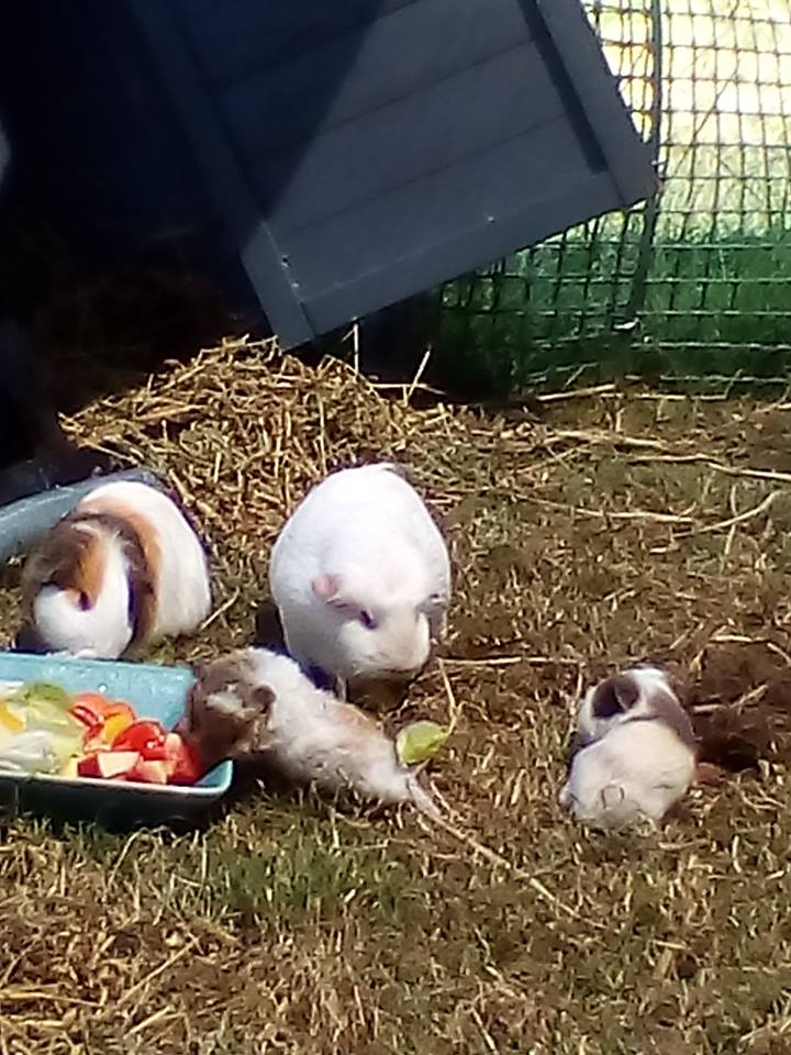 guinea-pigs-ours.jpg