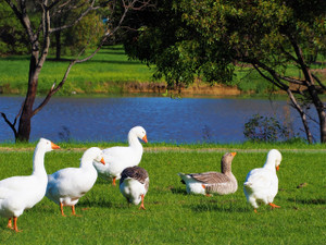 Ducks out for a waddle at the lake (Drysdale)