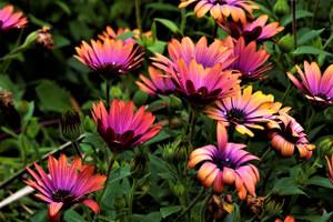 Spring flowers on the Bellarine (Portarlington)