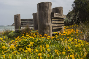 The Yellow daisys of spring along the boardwalk (Pt Lonsdale)
