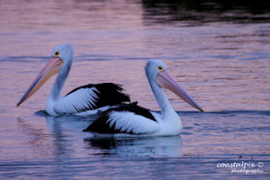 Pelicans in sunset reflections on the Barwon River (Ocean Grove)