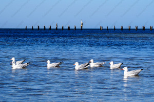Paddling in the Ocean  (Clifton Springs)