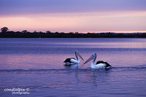 Pelicans on the Barwon River as the winter sun sets in the distance (Barwon Heads)