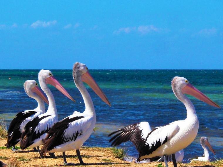 Pelicans at the seaside (Portarlington)
