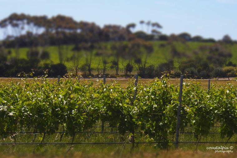 Bellarine Vinyards and Green Pastures B190040